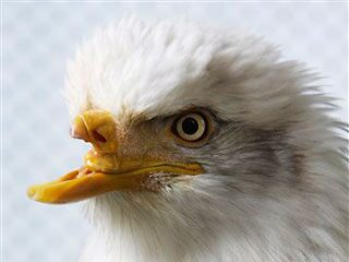 Eagle Without Beak Beauty gets new beak the flash news journal
