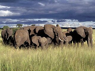 An elephant family in Tanzania featuring calves and adult elephants