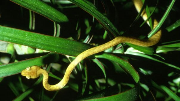 The brown tree snake, an invasive species that costs Guam millions  and has killed six species of bird to date.