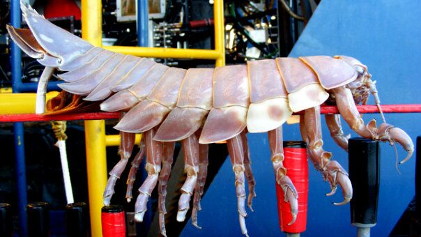 [Image: Giant%20Isopod%202_slideshow_604x500.jpg]