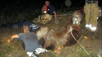 Sept. 14, 2010: Firefighters from Oregon's Clackamas Fire District #1 dig to rescue camel Moses from sinkhole.